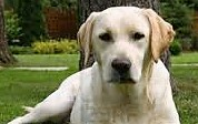 golden_labrador_retriever (2)