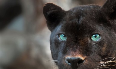 Black leopard headshot detail front view looking at camera.